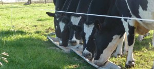 Expectant cows gobble up their grain