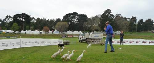 Training working dogs with ducks
