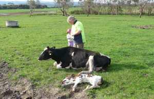 Huge calf