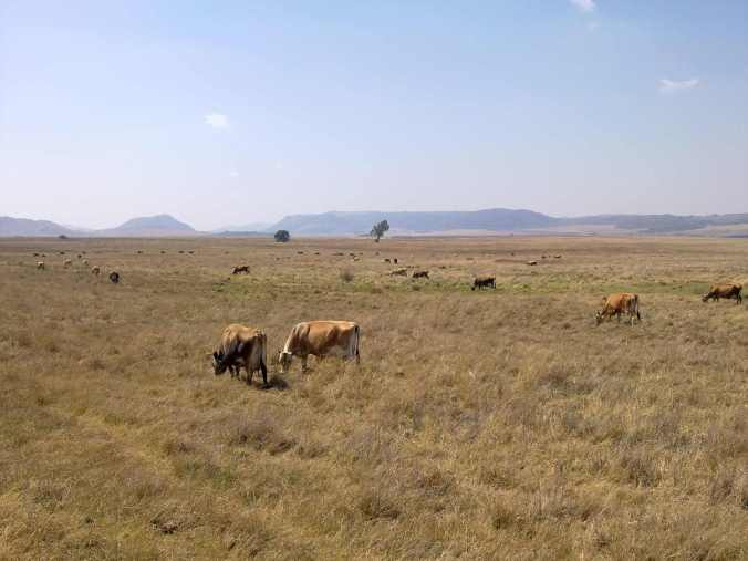 Hydeaway Jerseys grazing on the veld