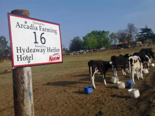 Hydeaway Farm raises heifers for other South African dairy farmers
