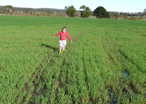 Oats stunted by wet conditions
