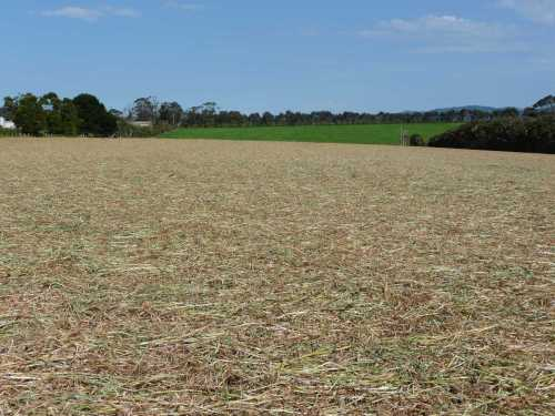 Mown forage oats