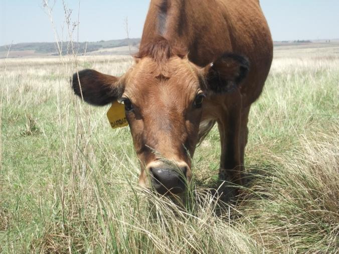 Barbara grazing
