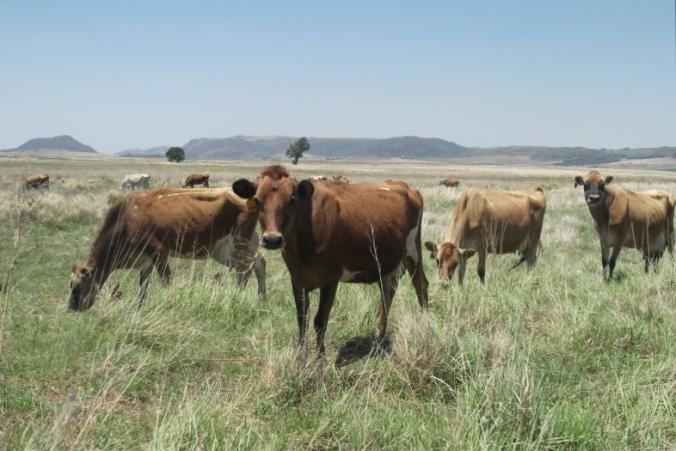 Barbara with her bovine friends