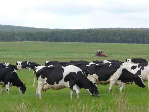 Cows grazing with mower in distance