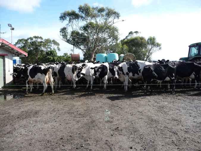 Cows banked up waiting