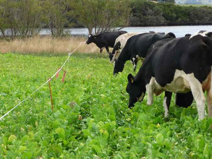 Cows grazing forage rape