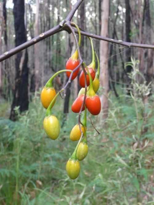 Kangaroo apple berries