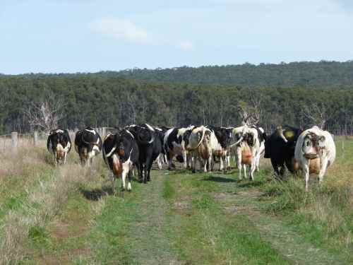 Dry cows go on holiday