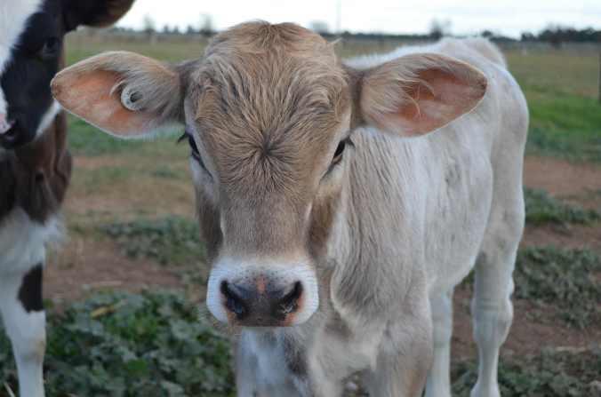 Olga the calf