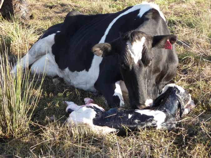 Newborn calf welcomed by the cow