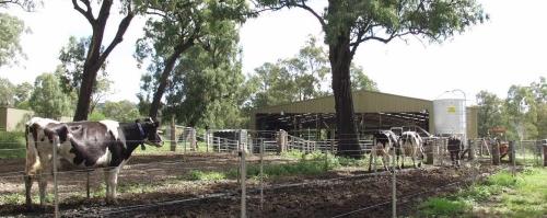 Robotic dairy