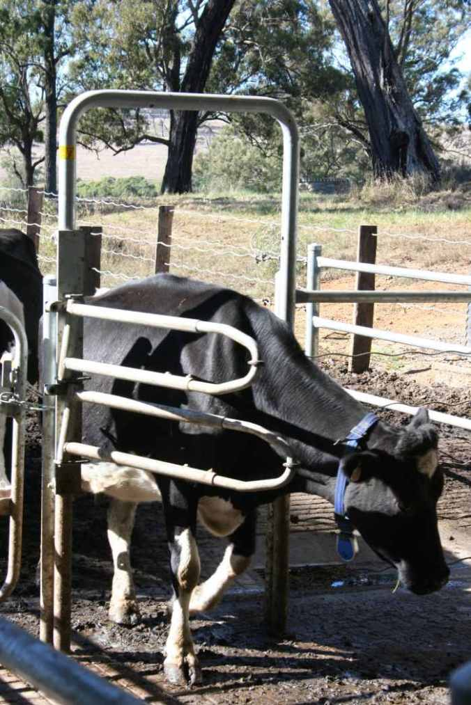 Cow walks through robotic gates