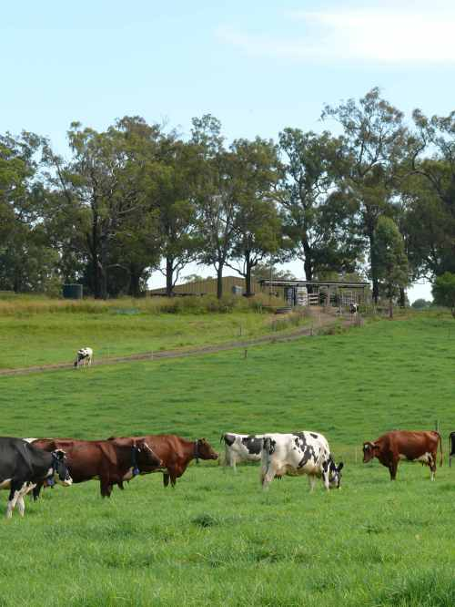 Cows in paddock with robotic milker in background
