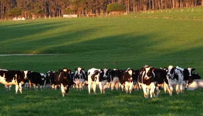 Heifers return home
