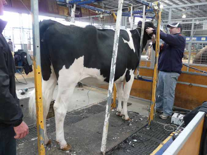 Huge Holstein cow