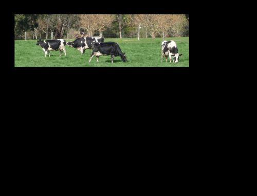Sniffing bull