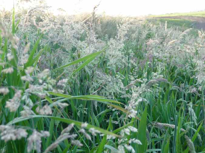 Yorkshire fog grass