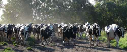 Angry mob of dairy cows