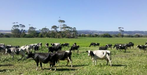 Cows grazing millet