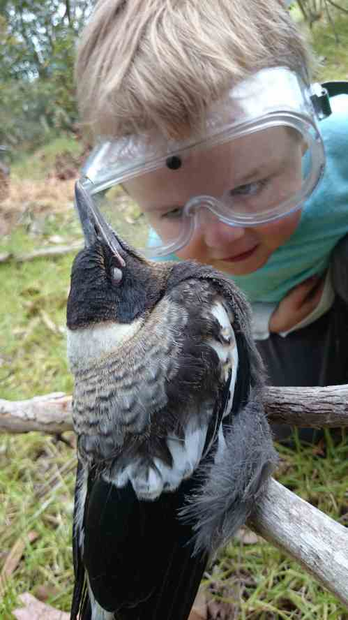 Young, innocent magpies sit for young scientists