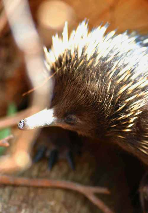 CreatureEchidnaFaceLoRes