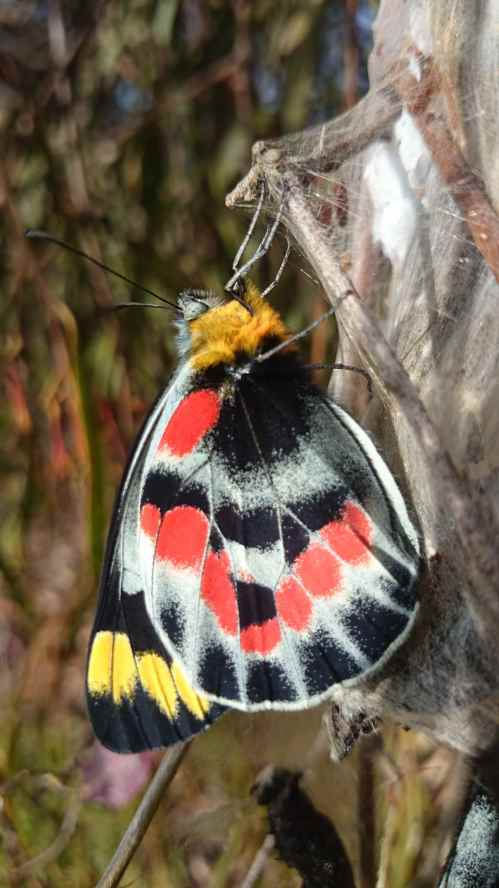 To emerge as the gorgeous Northern Jezebel
